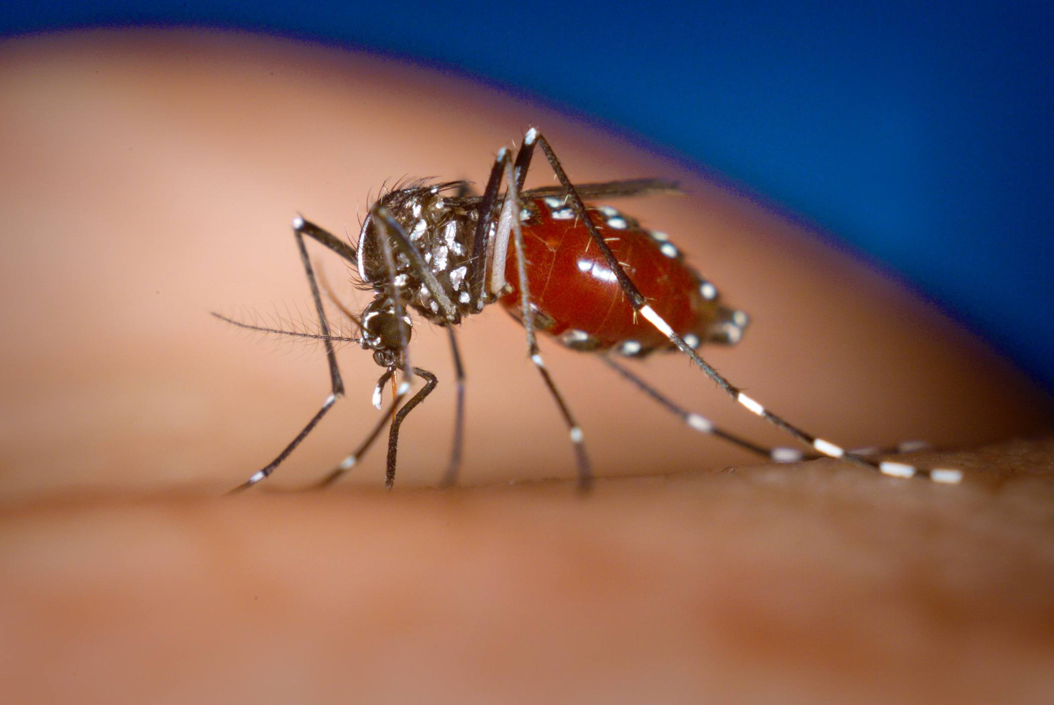 mosquito-dengue-aedes-nortedailha