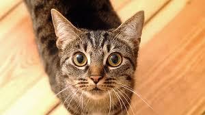 Gatos podem ser infectados pela Aids através de outros felinos