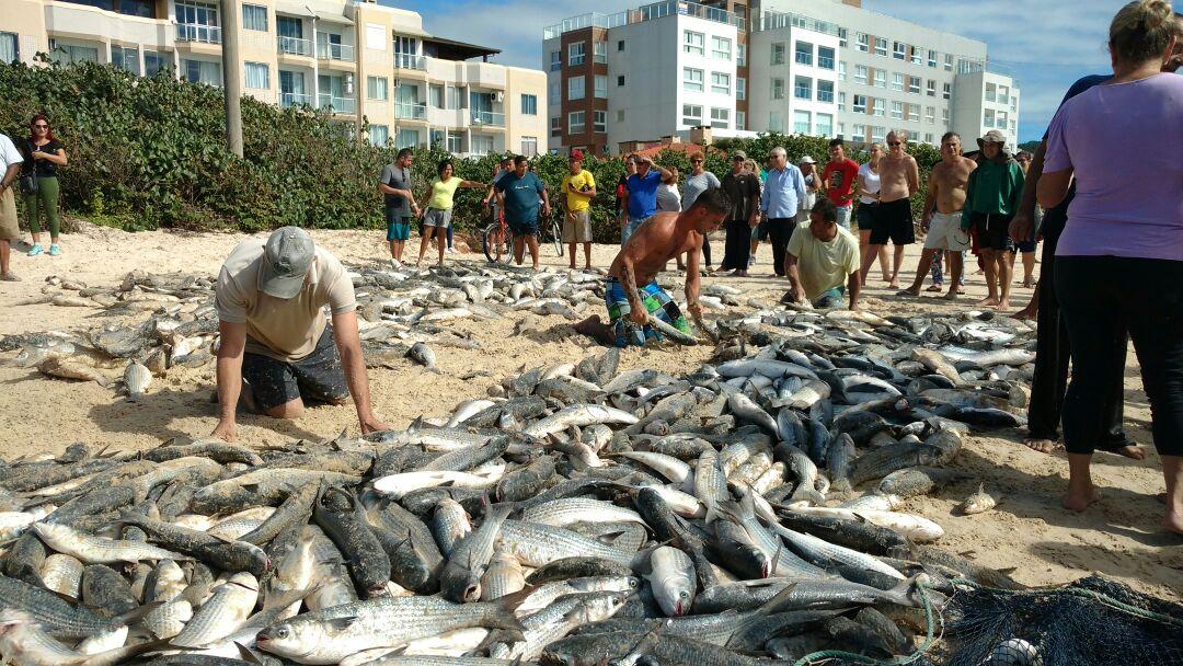 Pescadores capturam 5,4 mil Tainhas na Praia dos Ingleses