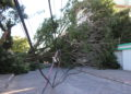 Árvore de grande porte caída na Rua das Dunas em Ingleses | Foto: Emanuel Soares / Jornal Conexão Comunidade