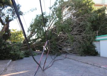 Árvore de grande porte caída na Rua das Dunas em Ingleses   Foto: Emanuel Soares / Jornal Conexão Comunidade